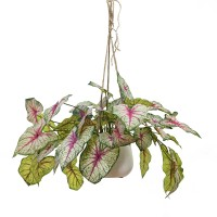 60CM RD VEIN CALADIUM IN HANGING PLANTER
